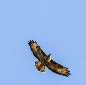 Buzzard flying above Brockstone Grasmere thanks to Deborah Newman