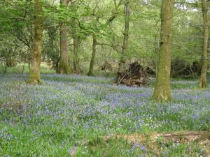 Bluebell flowers on a walk round Rydal