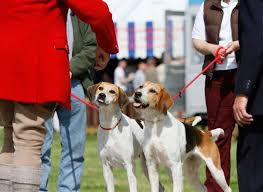 Lowther show hounds