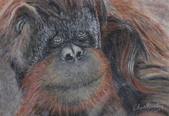 orangutan 1.0 IMG_2288