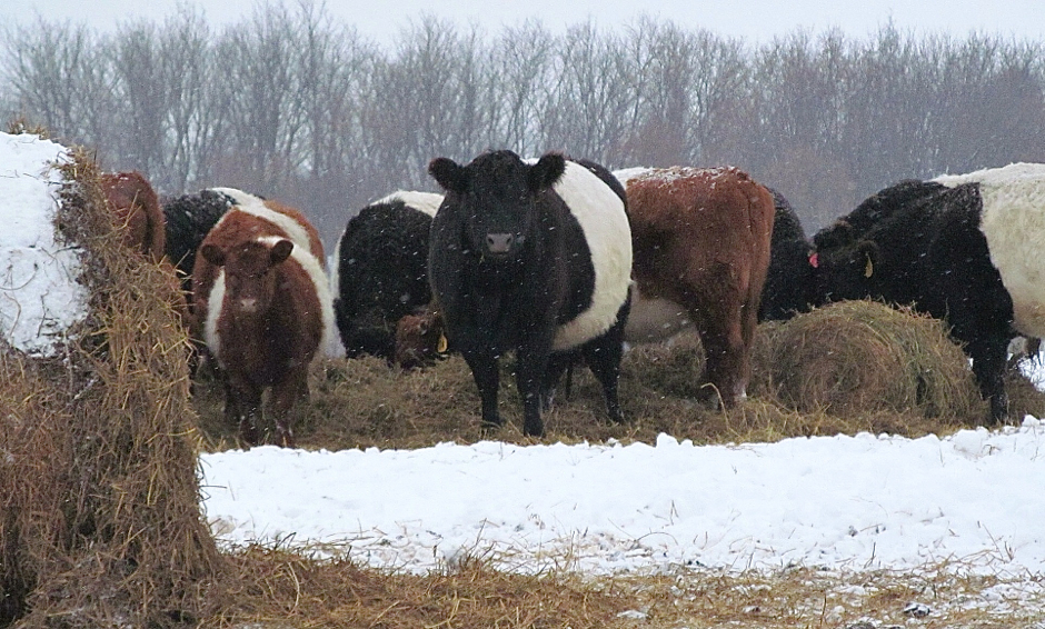BueLingo cattle in snow by hay bales