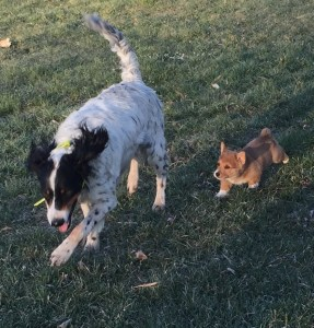 Siggy meets Parker, our English Setter