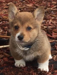 Siggy, our Pembroke Welsh Corgi puppy