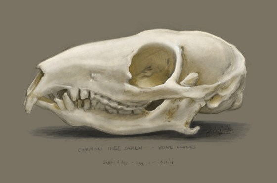 Tree shrew skull sketch based on ref photo from Bone Clones - drawn and painted in the Procreate app on iPad pro / og:image