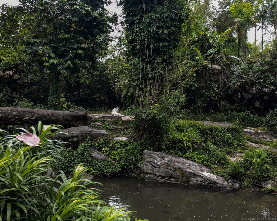 White tiger environment | Singapore Zoo | Nov 2018