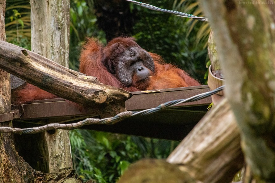 Orangutan | Singapore Zoo | Nov 2018