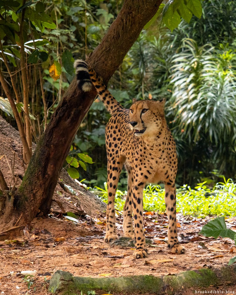 Cheetah | Singapore Zoo | Nov 2018