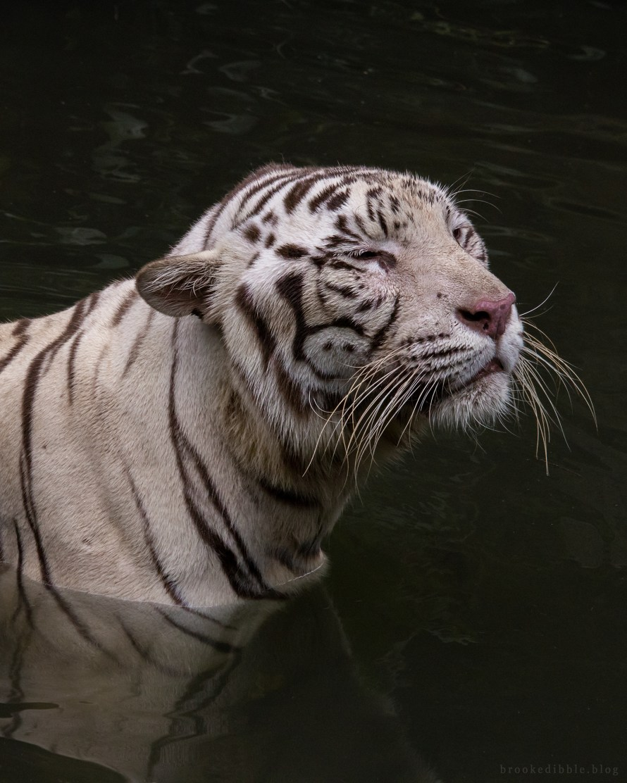 White bengal tiger | Singapore Zoo | Nov 2018