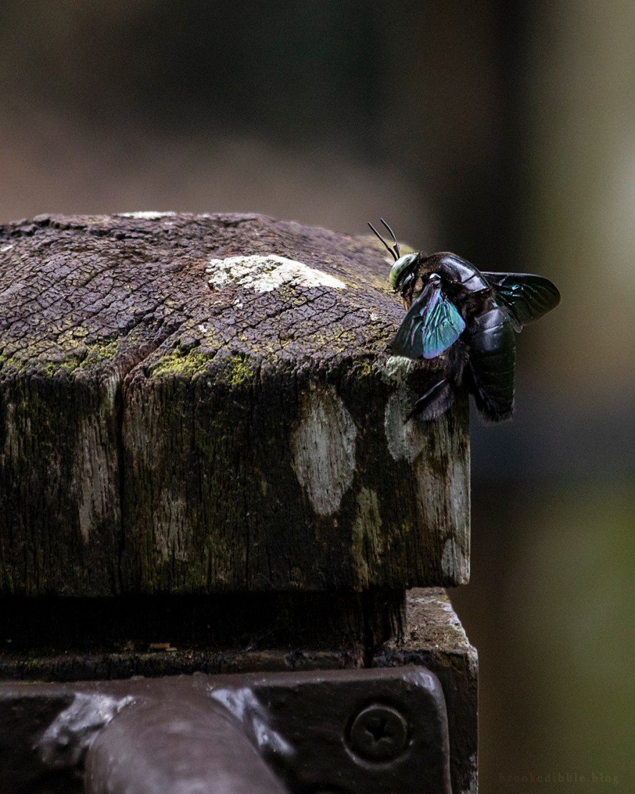 carpenter bee at Singapore Zoo