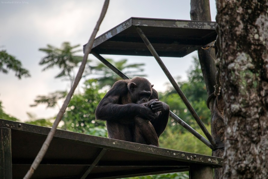 Chimpanzee | Singapore Zoo | Nov 2018