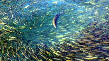 trevally_fusiliers001_16x9