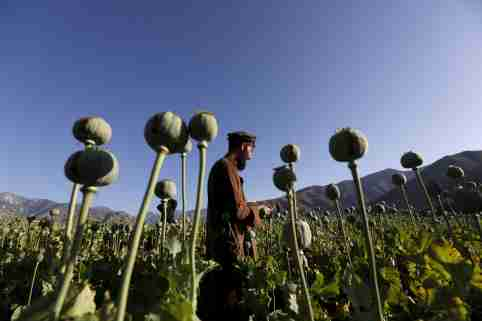 afghan_poppy_field001