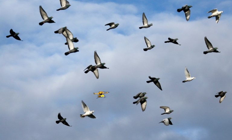 "A flock of pigeons flies with a prototype ""parcelcopter"" of German postal and logistics group Deutsche Post DHL in Bonn December 9, 2013. REUTERS/Wolfgang Rattay"
