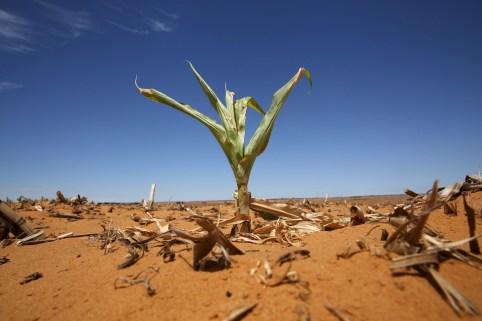 A maize plant