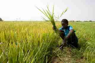 A youth called Alioun uses a sickle to cut weeds in a rice field on the outskirts of Richard Toll town