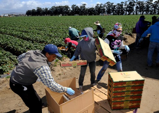 Field workers pick strawberries in Oxnard, California, April 16, 2013. In California, laborers from Mexico and Central America help make it the No. 1 farm state, with over $43 billion in cash receipts in 2011. The state also supplies some 85 percent of the country's strawberries, and no place is more abundant in that crop than Oxnard, 60 miles (100 km) west of downtown Los Angeles. Crews stoop in the green rows that stretch over the flat plain, plucking the red fruit with swift flicks of the wrist.  REUTERS/Gus Ruelas (UNITED STATES - Tags: SOCIETY IMMIGRATION AGRICULTURE BUSINESS EMPLOYMENT) - GM1E94H0VB301