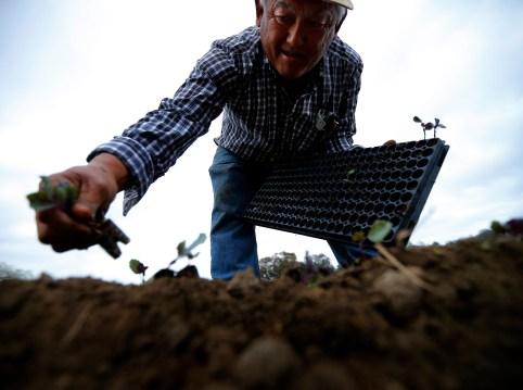 "Farmer Tom Chino plants Yuchoi Sun transplants on his family farm in Rancho Santa Fe, California March 4, 2013. The gravitational pull of Chino Farm is legendary. Since they don't ship, everyone - whether a top chef or a traveling foodie or a local resident - comes to the farm stand, simply called ""Vegetable Shop,"" on a dusty corner of this affluent San Diego County town, hemmed in by sprawling housing estates. Long before farmers' markets and heirloom vegetables popped up across the country, Tom Chino's parents bought the 45-acre (18.2-hectare) farm after World War Two and forged their independence from wholesalers and supermarkets, setting their prices and cultivating a diverse offering of crops. REUTERS/Mike Blake (UNITED STATES - Tags: AGRICULTURE BUSINESS ENVIRONMENT FOOD)ATTENTION EDITORS: PICTURE 04 OF 23 PICTURES FOR WIDER IMAGE STORY 'FOUR SEASONS OF CHINO FARM'SEARCH 'CHINO FARM' FOR ALL IMAGES - LM2EABO11FQ01"