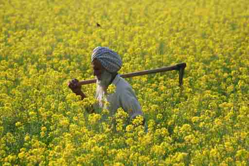 A farmer walks through a mustard field at Ghaduwan village in the northern Indian state of Punjab December 16, 2009.  REUTERS/Ajay Verma (INDIA - Tags: BUSINESS POLITICS AGRICULTURE SOCIETY) - GM1E5CG1GI901