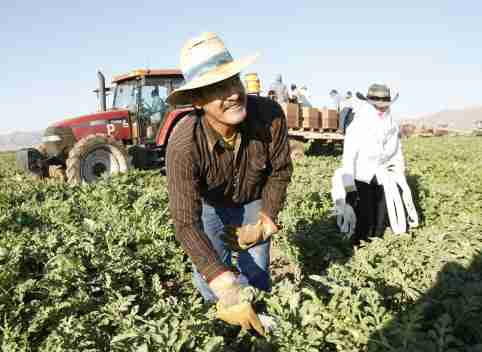 Mexican migrant worker Javier Gonzalez and his wife Guadalupe pick watermelons in Dome Valley near Yuma, Arizona June 18, 2008. REUTERS/Rick Scuteri (UNITED STATES) - GM1E46J0YEV01