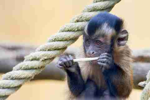 Tufted capuchin monkey chewing on a stick.