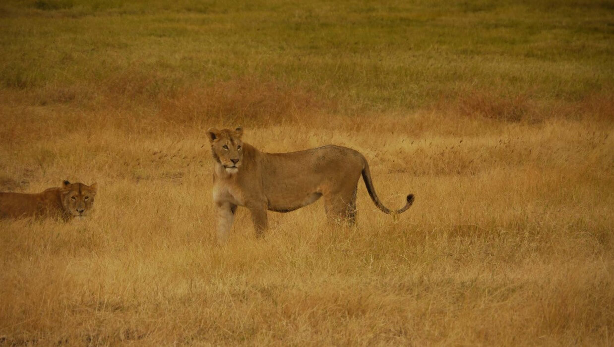 two african lioness in the grass
