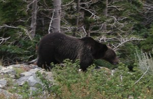 Grizzly in Woods, Glacier Park