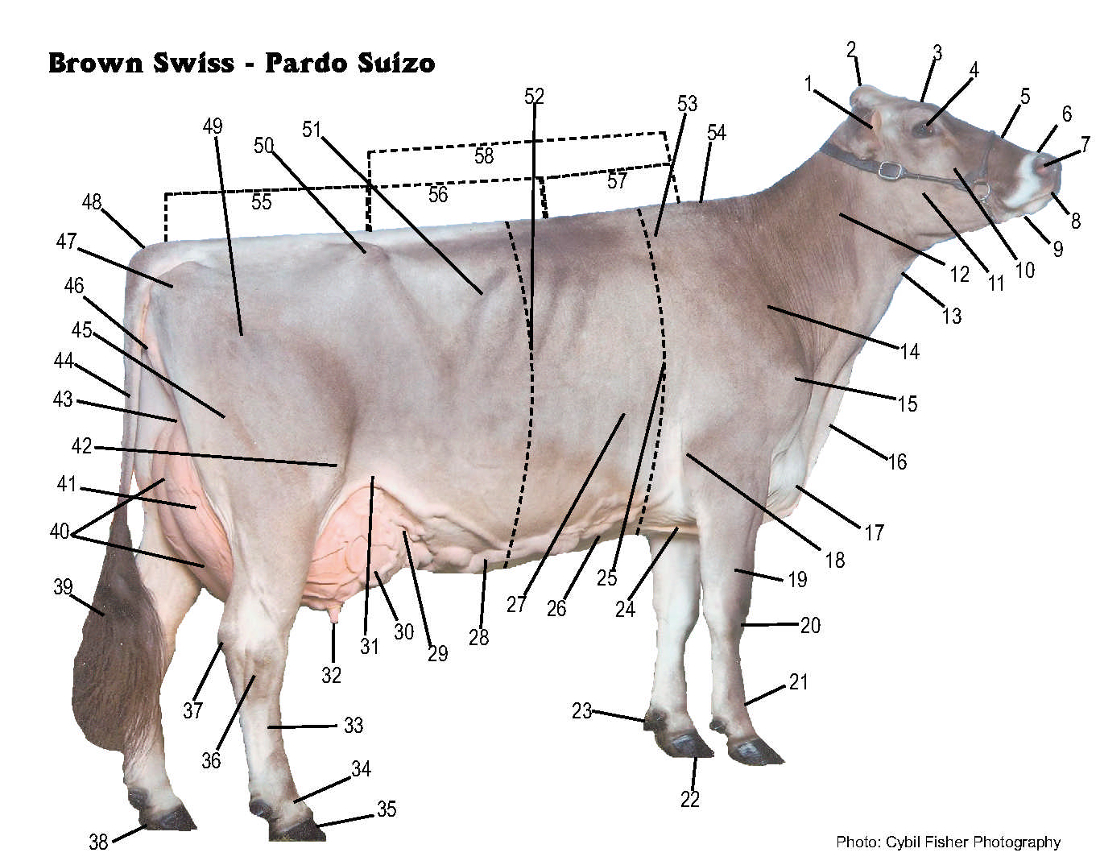 Brown Swiss Association Gt Breed Gt Brown Swiss Breed Gt Parts Of The Dairy Cow