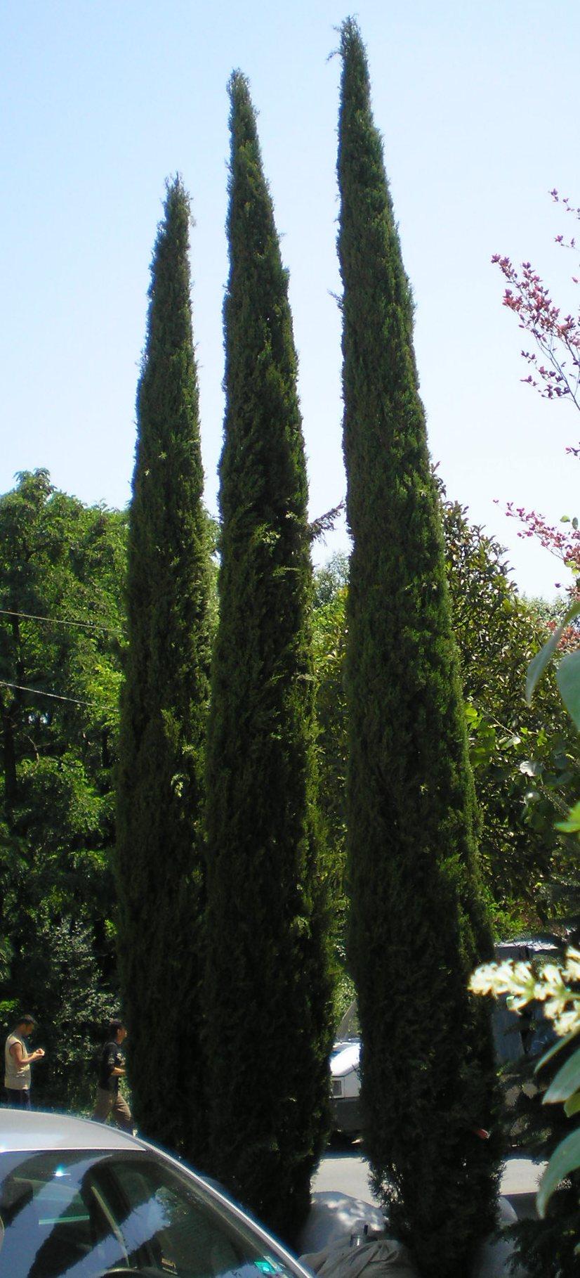 Trees Evergreen Brownswood Nursery