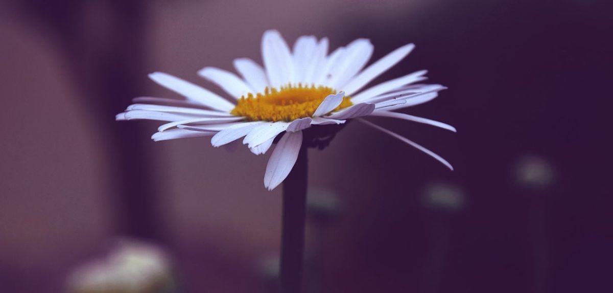 A simple white and yellow daisy against a blurred background, illustrating the simplicity on the other side of complexity