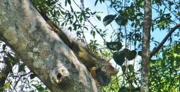 Grüner Leguan Costa Rica Caminos de Osa