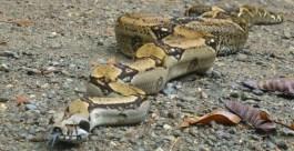 Pythonschlange Caminos de Osa Costa Rica