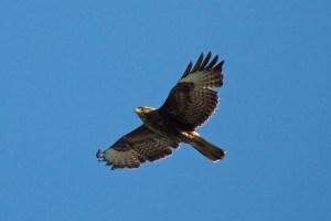 fietstocht: op zoek naar roofvogels in de bossen van Sint-Andries en in de Lage Moeren @ scheepsdaelebrug, kant houtkaai | Brugge | Vlaanderen | België