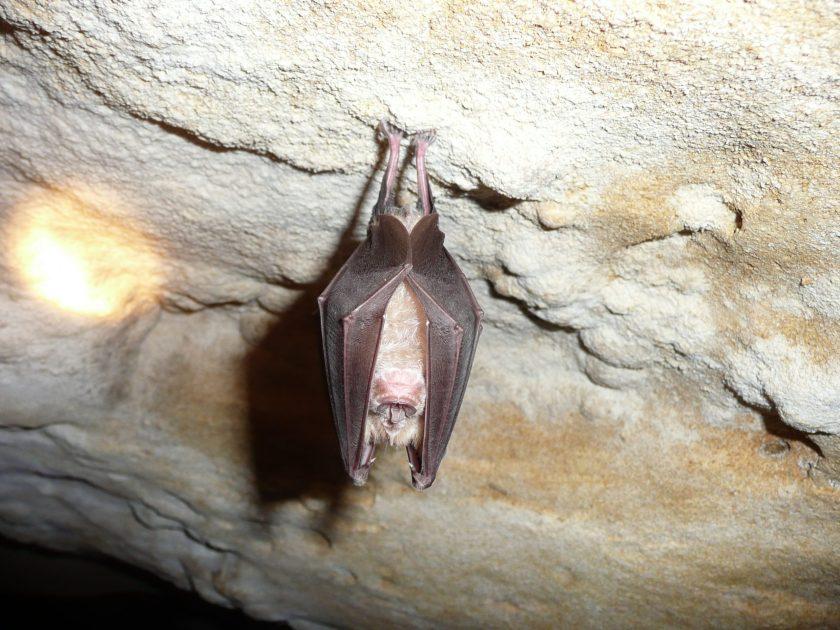 Uitgestorven vleermuis duikt op aan Schipdonkkanaal
