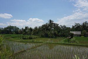 Rijstveld/terras