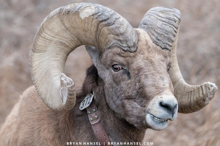 ram collared and tagged in the badlands