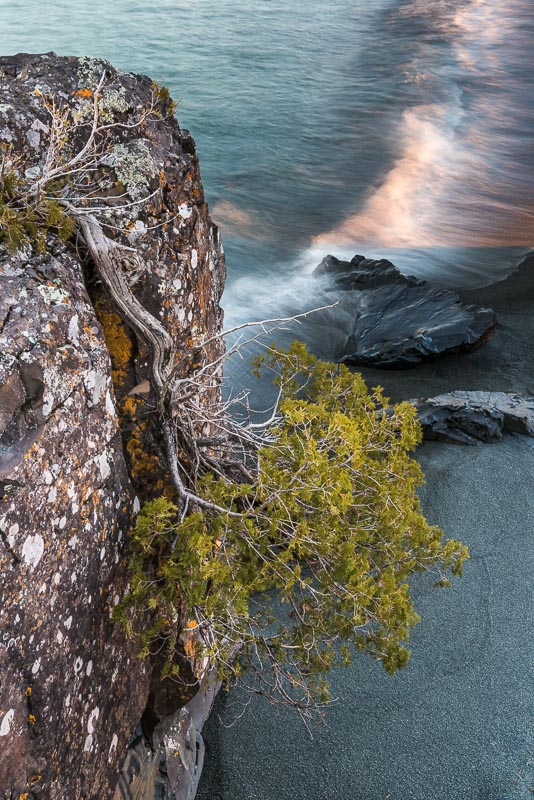 upside down cedar on Black Beach, Silver Bay