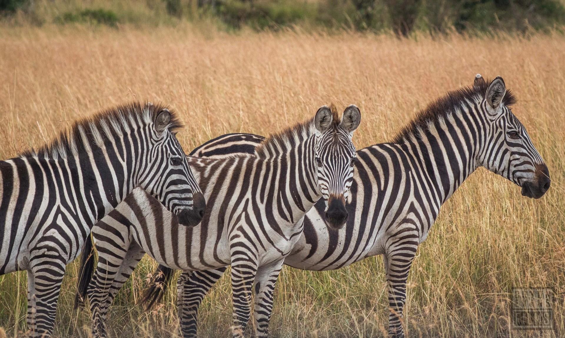 Zebras near Massai Mara