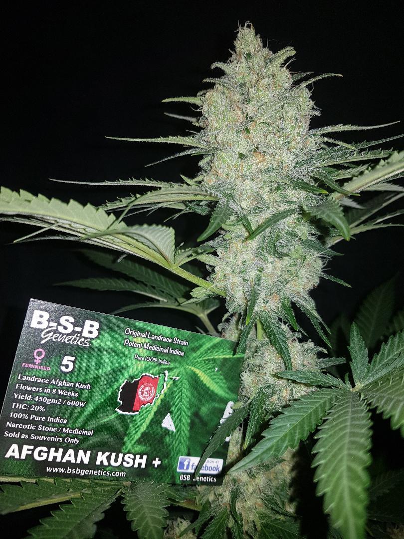 AFGHAN KUSH +