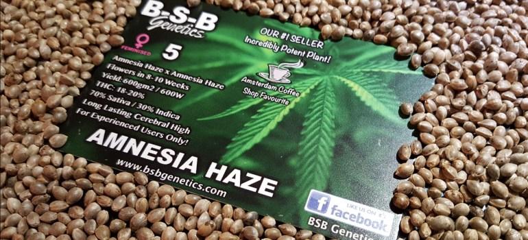 b-s-b am haze seeds poster 004_5