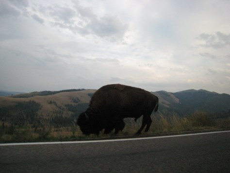 Roadside bison on the way back from dinner in Roosevelt.