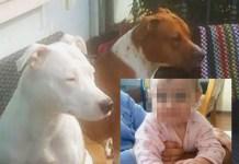I cani che hanno ucciso la piccola Vittoria: è polemica per la decisione di abbatterli