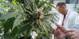 Primo via libera all'utilizzo della Cannabis per uso teraupeutico, il relatore della proposta è il deputato Alfredo Bazoli di Brescia