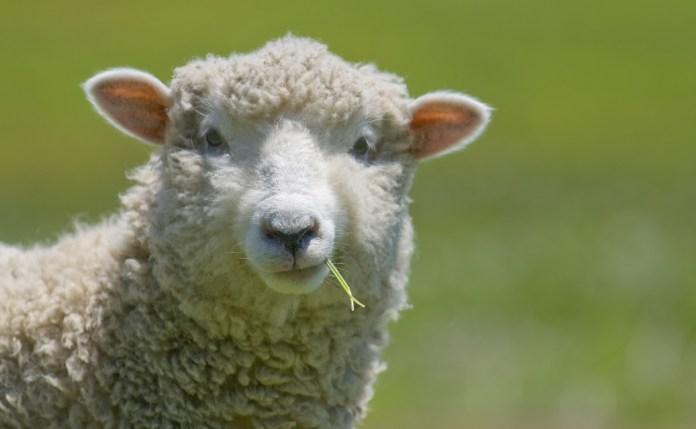 Latte di pecora italiano sequestrato per troppo piombo, a Brescia il problema c'è?