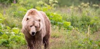 Un orso