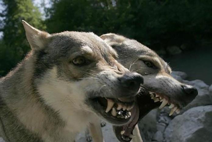 Due esemplari di cane lupo cecoslovacco inferociti