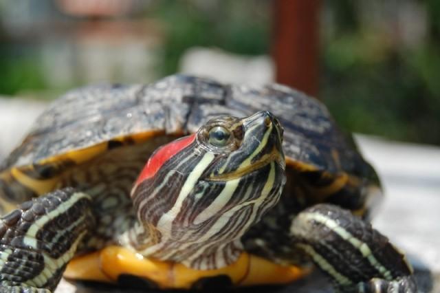 Tartaruga dalle orecchie rosse, Brescia
