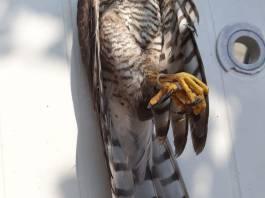 Falco trovato morto con le zampe legate a Monte Isola