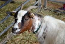Una capra - foto generica