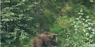 L'orso fotografato dai carabinieri forestali di Vobarno