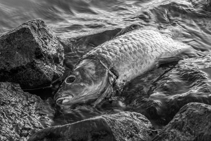 Pesce morto - foto da Pixabay